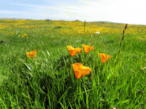 Photo by Marty Cheek California Golden Poppies bloom during the spring months in Coyote Ridge.