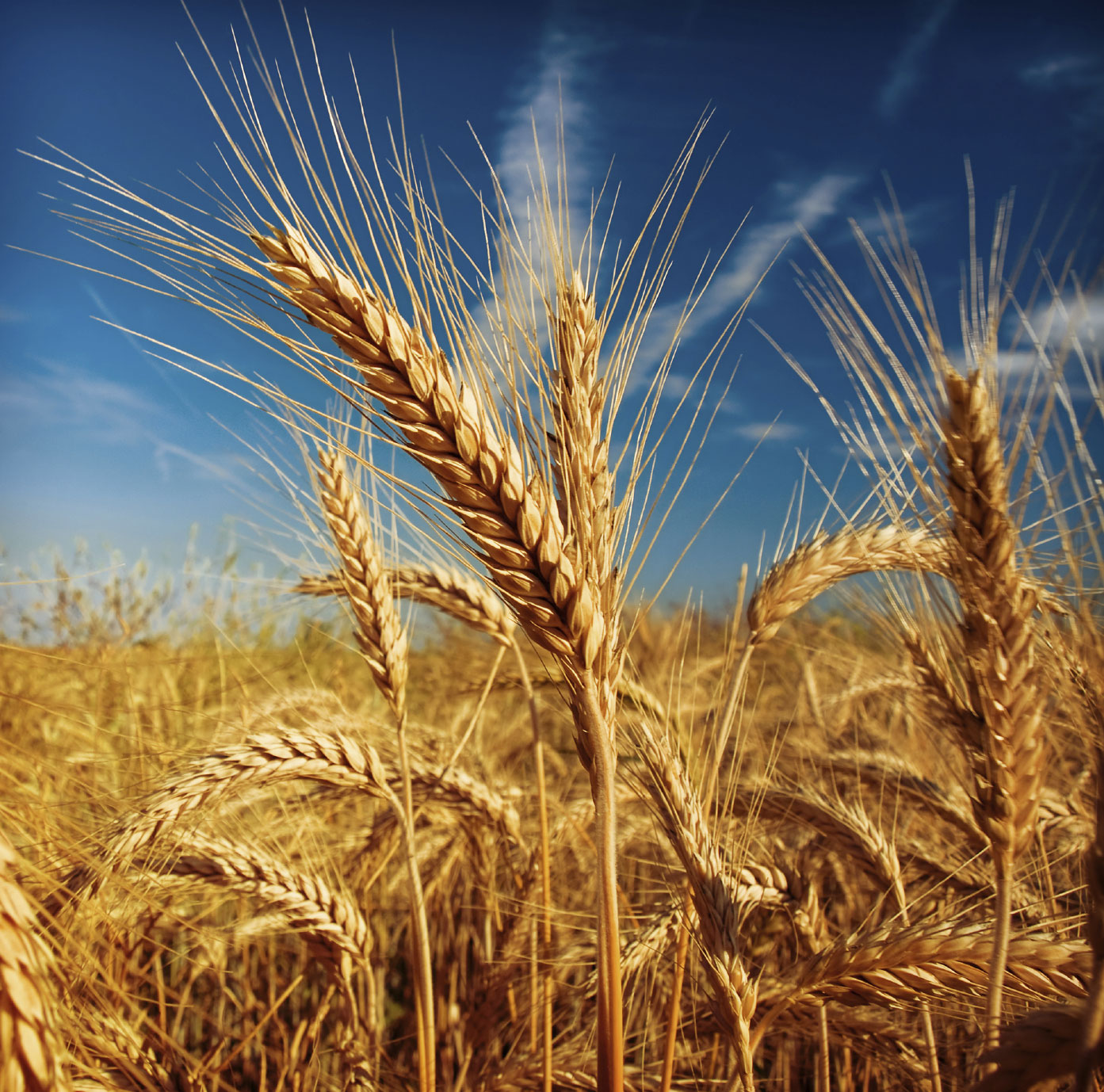 Image result for field of oats