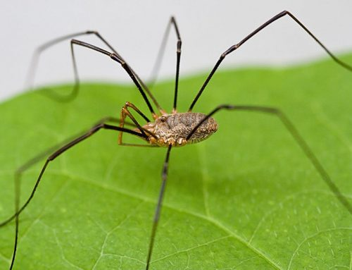 Your Garden … with Kate Russell: Daddy longlegs get nutrition from decomposing plant and animal matter