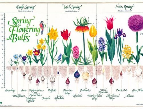 Your Garden … with Kate Russell: Great spring conditions do exist in South County for growing bulbs