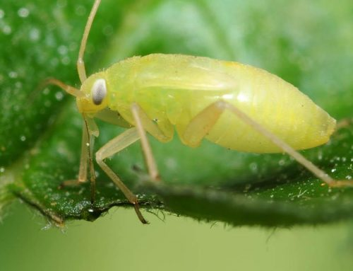 Your Garden … with Kate Russell: Aphids are one of the most destructive pests in your Morgan Hill garden